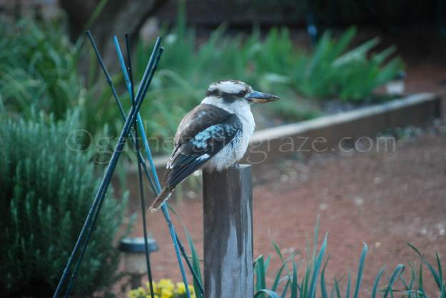 Kookaburra | Gather and Graze