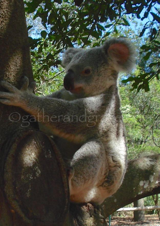 Koala | Gather and Graze