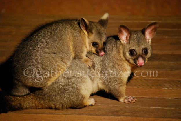 Brush-Tail Possums | Gather and Graze
