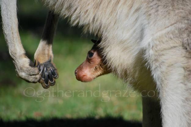Kangaroo with Joey | Gather and Graze