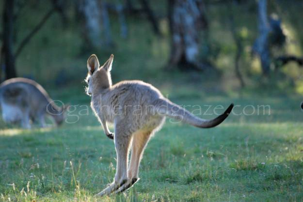 Kangaroo | Gather and Graze