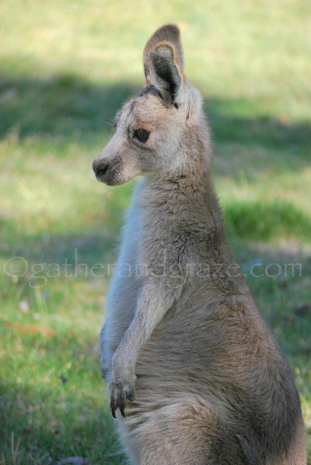 Kangaroo | Gather and Graze