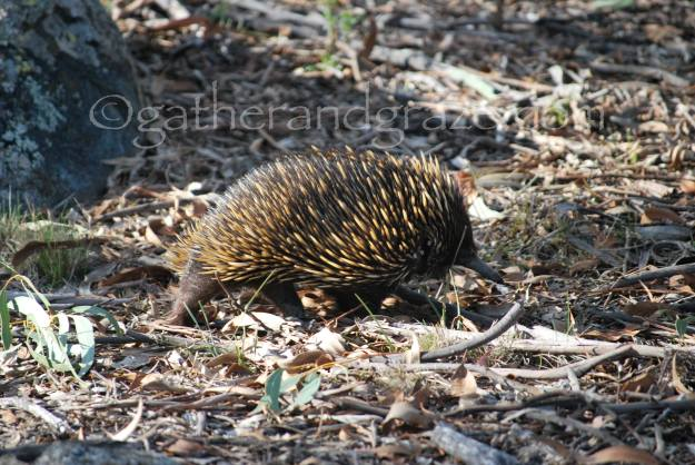 Echidna | Gather and Graze