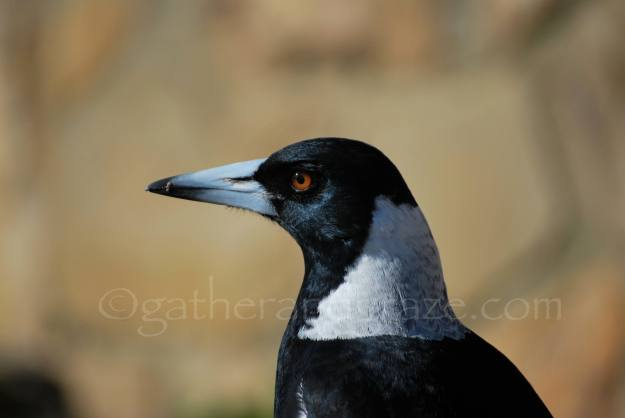 Magpie | Gather and Graze