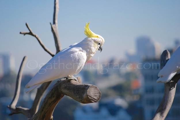 Sulphur-Crested Cockatoo | Gather and Graze