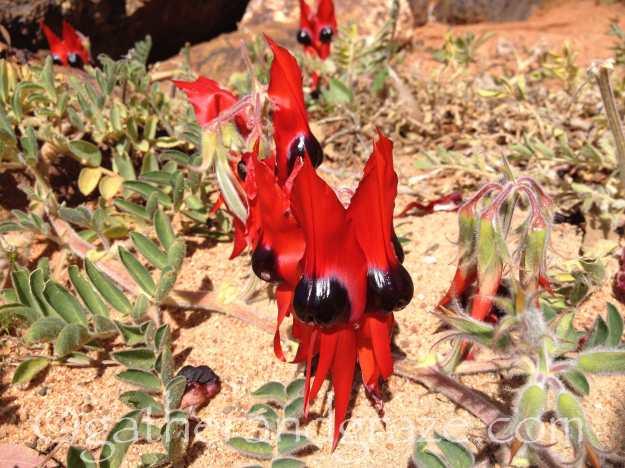 Sturt's Desert Pea | gatherandgraze.com