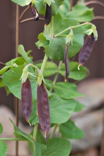 Purple Snow Peas | Gather and Graze