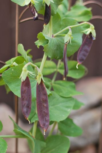 Purple Snow Peas | Gather and Graze