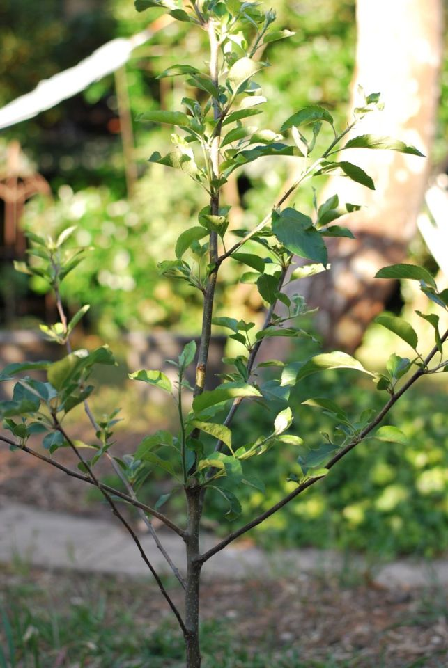 Apple Tree | Gather and Graze