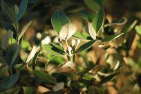 Feijoa Tree | Pineapple Guava | Gather and Graze