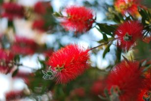 Bottle Brush | Gather and Graze