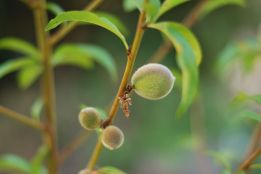 Peach Tree | Gather and Graze