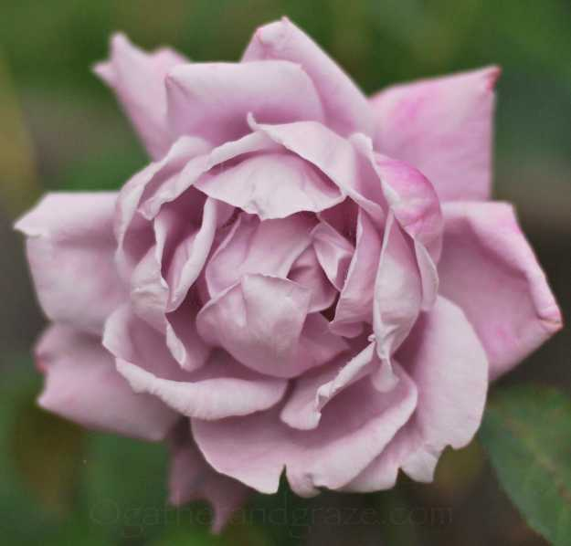 Dusky Pink Rose | Gather and Graze